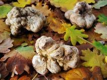 Truffes blanches (magnatum de tubercule) Photographie stock libre de droits