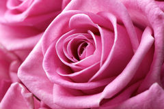 Pink rose flower extreme close-up Royalty Free Stock Photo