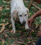 Truffle dog in the Langhe. Rocky: dog for truffles research, La Morra - Italy royalty free stock image