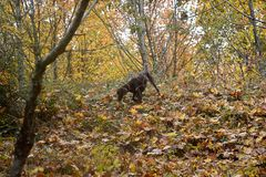A  truffle dog is looking for a truffle in the forest . Dog looking for truffles in a field stock photos