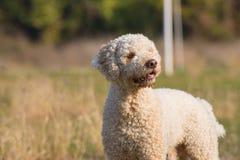 Truffle dog portrait stock image