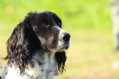 Truffle dog Royalty Free Stock Photography