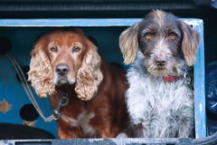 Truffle dog Royalty Free Stock Photo