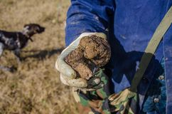 Truffle Hunting in Abruzzo, Italy. Black truffles, also known as Tuber Melanosporum grow wild in the Italian hills of Abruzzo. They are a gastronomic delicacy royalty free stock photo
