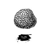 Truffle mushroom hand drawn vector illustration. Sketch food  Stock Photos