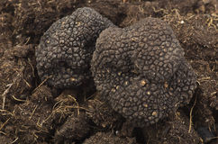 Truffles. Freshly harvested truffles close up over ground royalty free stock photography