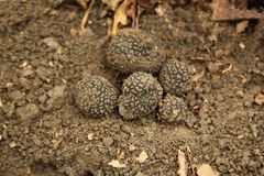 Truffles on earth in the forest stock photo