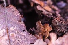 Truflowa komarnica w Provence Fotografia Stock
