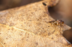 Truflowa komarnica w Provence, France Fotografia Stock