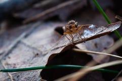 Truflowa komarnica w Provence, France Obraz Royalty Free