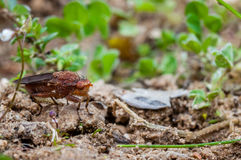Truflowa komarnica w Provence, France Fotografia Royalty Free