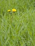 Truie-chardon Image stock