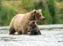Truie d'Alaska et animal d'ours brun image stock