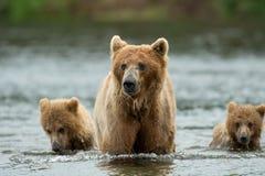Truie d'Alaska et petits animaux d'ours brun Images libres de droits