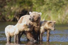 Truie d'ours de Brown avec ses deux animaux Images libres de droits