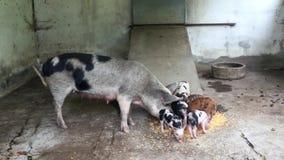Truie de maman avec des chiots qu'ils mangent banque de vidéos