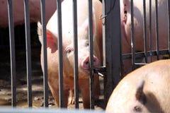 Truie de porc regardant au-dessus de la barrière de fer l'été de la ferme d'animaux Images stock