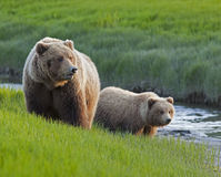 Truie et animal d'ours gris le long de flot