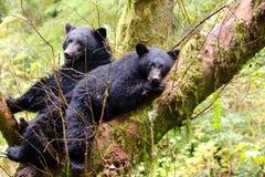 Truie et petit animal d'ours noir Image libre de droits