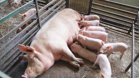 Truie fertile se trouvant sur la paille et les porcelets allaitant dans la grange banque de vidéos