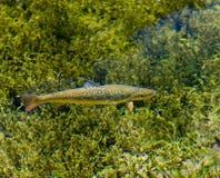 truite arc-en-ciel Image stock