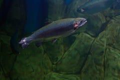 Truite arc-en-ciel ou truite saumonée Images stock