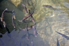 Truite dans l'étang 05 Photos stock