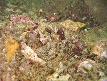 trujący scorpionfish Obrazy Royalty Free