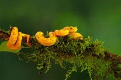 Truje rzęsę Palmowy Pitviper, Bothriechis schlegeli na zielonej mech gałąź, Venomous wąż w natury siedlisku Jadowity ani fotografia stock