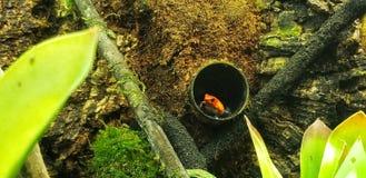 Truje strzałki żaby zdjęcia stock