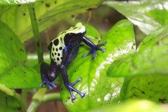 Truje strzałki żaby zdjęcie stock