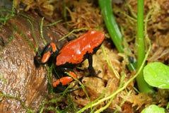 Truje strzałki żaby fotografia stock