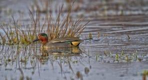 Trullo del pato en el agua Imagen de archivo libre de regalías