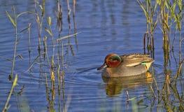 Trullo del pato en el agua Fotos de archivo