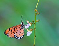 Beautiful Tawny Coster orange butterfly taking nectar from a small flower. This truly beautiful, orange with black and white spotted wings Tawny Coster butterfly Royalty Free Stock Image