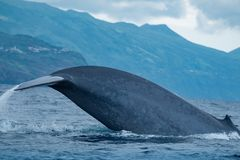 A truly enormous blue whales in the Azores stock photo