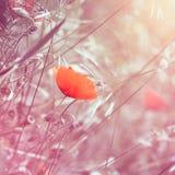 Träumerischer Blumenmohnblumenhintergrund mit dem rosa Tonen Stockfoto