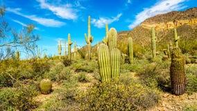 Trumma- och Saguarokakturs i halva det regionala ökenlandskapet av det Usery berget parkerar nära Phoenix Arizona royaltyfria foton