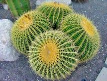 Trummakaktus som växer i sand och grus arkivfoto
