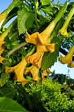 trumpet зеленого цвета s сада ангела Стоковые Изображения