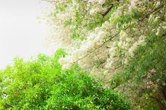 Розовое дерево трубы Цветки зацветать красивый стоковое фото