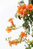 Trumpet creeper. With orange flowers royalty free stock photos