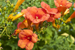 Trumpet creeper Royalty Free Stock Images