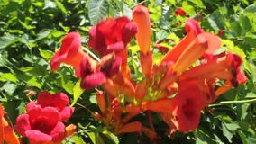 Trumpet creeper. Campsis flower - trumpet creeper with buds in the breeze and bee flying stock video