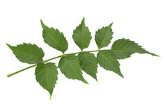 Trumpet creeper leaf on white Royalty Free Stock Photography