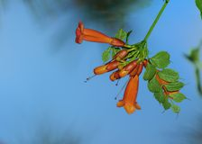 Trumpet Creeper. With sky background Royalty Free Stock Photography
