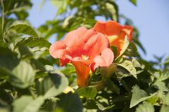 Trumpet creeper is a species of flowering plant of the family Bignoniaceae. royalty free stock photography