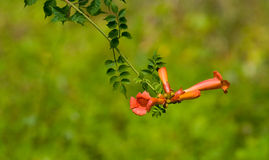 Trumpet Creeper Vine Bloom. Isolated cluster of blooms on a trumpet creeper vine Royalty Free Stock Photos