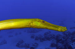 Trumpet Fish Stock Images