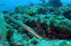 Trumpet Fish Stock Photos